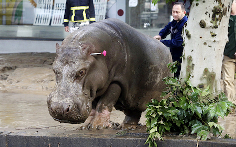 The Garibashvili government's failures in the aftermath of devastating flash floods in June 2015 were amplified when many animals from Georgia's national zoo escaped onto the streets of Tbilisi. (Beso Gulashvili / Reuters)